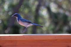 IMG_6319 (armadil) Tags: backyard bird birds jay jays scrubjay scrubjays