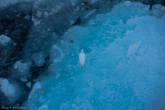 Ivory gull on ice (Elvar H) Tags: arcticocean harpseal helmerhansen phocagroenlandica siarctic grnlandssel seal sealsampling sel vuselur