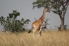 Safari - Murchison Falls Nat'l Park (annie in alba) Tags:
