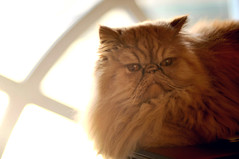 Wilfred (Mark Liddell) Tags: red orange pet house cute home window face sunshine animal cat scotland amber persian eyes sitting glasgow laptop tabby tail whiskers backlit wilfred pedigree smooshed