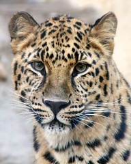 Koshka (Penny Hyde) Tags: vertical leopard bigcat sandiegozoo amurleopard