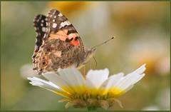 Polinización 3 Feb13 (lanzarote rural) Tags: mariposasenlanzarotefeb13
