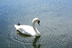 (M.Mantovani) Tags: park parque brazil white lake water branco brasil canon landscape lago photography duck agua sopaulo paisagem pato ibirapuera ibirapuerapark