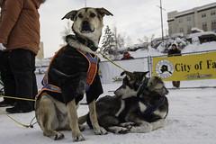 YUKON QUEST 2013 (The Yukon Quest) Tags: winter canada dogs animal alaska race frozen north arctic yukon northern mushing sled sleddog mushers yukonquest 2013 normandcasavant fairbanksracefinish