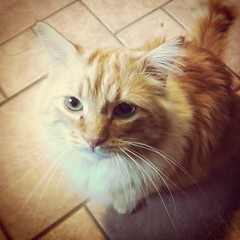 Punkin (gabi madsen) Tags: orange pet cute cat kitty evil fluffy mean punkin