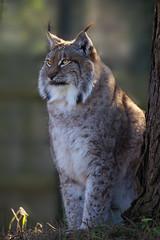 Lynx 3 (ahisgett) Tags: lynx flickrbigcats