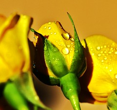 Water drops on yellow roses (Photography Peter101) Tags: flowers roses macro nature yellow canon