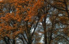 leaves begin to Leave (zhongjianren76) Tags: china tree leaves yellow ginkgo pentax fa31mm 蒙顶山 autuma k20d