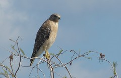 Red-shouldered Hawk (Buteo lineatus), Florida subspecies, NGIDn1239938883 (naturgucker.de) Tags: redshoulderedhawk buteolineatus naturguckerde cchristopherengelhardt 744365791 1848046113 ngidn1239938883 242319508