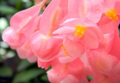 Like bell's ringing (NatiLady) Tags: pink flower macro green cores colours bokeh flor begonias