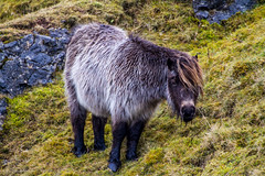 Welsh Mountain Pony (BiteYourBum.Com -) Tags: park mountain wales carmarthenshire unitedkingdom pony 350 national pro welsh brecon beacons cob runner canonef1740mmf4lusm aw lowepro llanddeusant dyfed llangadog welshmountainpony canonefs60mmf28macrousm breconbeaconsnationalpark biteyourbum canoneos7d dawnandjim canonspeedlite430exii sigma50500mmf4563dgoshsm biteyourbumcom welshponyandcob