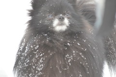 Snowflake on My Nose (Rebeak) Tags: bear dog snow fur nikon pomeranian snowscape cannie rebeak