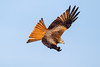 Red Kite in flight over farmland in mid Wales, UK (Andrew Sproule Photography) Tags: 2013 andrewsproule britain british elanvalley europe european february gigrin midwales powys redkite rhayader uk wales wyevalley action active activity aves avian beak bird birdofprey birdlife bluesky conservation countryside day digital dramatic endangered farmland feathers feeding flight flying forkedtail image inflight intheair individual motion movement moving native natural nature nopeople nobody onthewing one outdoor outdoors photo photography picture raptor rare wild wilderness wildlife wing wings wingsspread winter