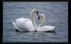 Love (eLKayPics) Tags: lake see swan hungary pentax schwan ungarn balaton plattensee k7 keszthely elkaypics