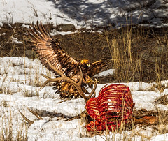 LANDING GEAR DOWN (Sandy Stewart) Tags: winter nature photography us flying inflight photos wildlife feathers yellowstonenationalpark northamerica birdsinflight yellowstone eagles goldeneagles naturephotos flyingbirds wildlifephotos sandystewart preybirds