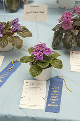 Ultra Violet Flash DSC_9203 (Mary J.I.) Tags: asvm africanvioletsocietyof mn minnesota africanviolet show harmarmall asva plant flower ribbons prizes houseplants blooms bloom twincitiesgesneriads gesneriad gesneriads roseville flowers blooming bloomingplants attractive saintpaulia