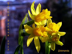 buona Pasqua a tutti (solonanda on/off slow internet) Tags: yellow giallo fiori narcisi amazingdetails naturesharmony coth5 silveramazingdetails goldamazingdetails rememberthatmomentlevel1 rememberthatmomentlevel2 rememberthatmomentlevel3 flowerthequietbeauty thequietbeauty