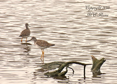 Greater Yellowlegs at Mill Creek Marsh in Secaucus NJ (Meadowlands) (takegoro) Tags: creek marsh water nature wildlife birds flats meadowlands greater mill nj mud shore reflections birds yellowlegs secaucus