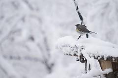Snow birds: Pine siskin