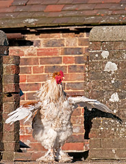 Hen At Heaven Farm. Uckfield. East Sussex UK (PANDOOZY PHOTOS) Tags: uk chickens chicken farm poultry fowl hen freerange