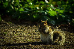 Squirrel and shadow (Jason M Parrish) Tags: cute animal squirrel sheffield botanicalgardens