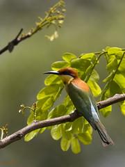 Chestnut-headed bee-eater (shivanayak) Tags: shiva kudremukh beeeater shivanayak explored chestnutheadedbeeeater chestnutheaded samse