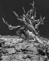 Great Basin Bristlecone Pine (Pinus longeava) #2 (ShutterOak) Tags: california trees blackandwhite tree landscape outdoors nationalpark whitemountains bristleconepine bristleconepineforest outdoorsphotography flickrsbest bristleconepinetree