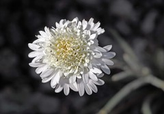 Fremont Pincushion (Ron Wolf (...detests this new design...)) Tags: california white flower macro nature nationalpark desert wildflower asteraceae deathvalleynationalpark desertpincushion chaenactisfremontii fremontpincushion