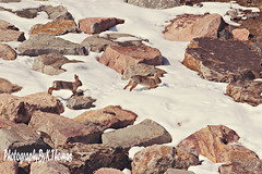 bunnies (thomask8) Tags: snow bunnies nature animals outdoors photography rocks naturescenes rabits