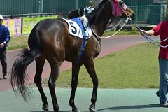 20130405-_DSC3683 (Fomal Haut) Tags: horse japan nikon nagoya 80400mm d4   14teleconverter  d800e