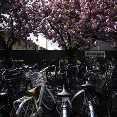 Late Blooming Cherry Blossom with Bicycles (jacob schere [in the 03 strategically planning]) Tags: pink school flower bicycle japan digital square cherry tokyo spring day blossom jacob 4 first communication beginning bloomer chiba bloom flowering late gr blossoming bud lucid iv ricoh sprung budding blooming springing ichikawa m2c schere  dgr konodai jacobschere lucidcommunication