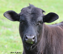 IMG_9252B (Stuart Jackson Photos) Tags: cow cattle oxen heifer