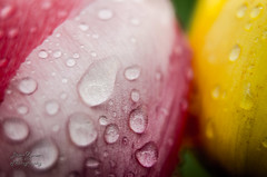 Joined Together (Brian Xavier) Tags: flowers friends nature colorful tulips raindrops naturalbeauty waterdroplets naturalworld springflowers springtime tulippetals springseason colorimage tulipflowers workingtogether extensiontubes helpingeachother joinedtogether standingtogether bxphoto brianxavierphotography brianxavier bxfoto bxfotocom copyrightbrianxavier fotodioxextensiontubes standingasone