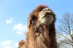 Josephine  Explore #  21 ( 18-4-2013 Thanks !!! (excellentzebu1050) Tags: farm explore camel camels camelus explored animails frameit camelusbactrianus takenwithlove 100commentgroup coth5 mygearandme photographyforrecreation rememberthatmomentlevel1 rememberthatmomentlevel2 vigilantphotographersunite vpu2 frameitlevel2