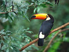 棲息在巴西林區中的巨嘴鳥。 (sheung2013) Tags: 範例 野生生物