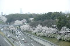 (ddsnet) Tags: travel plant flower japan sony 99  cherryblossom  sakura nippon  kansai  nihon hanami  slt backpackers  flower             cherry blossom osakafu  japan suitashi   flowerinjapan singlelenstranslucent 99v