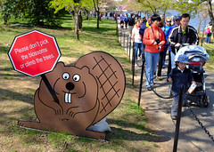 Beaver Rules (Mondmann) Tags: usa america rodent washingtondc spring unitedstates cartoon rules tourists beaver cherryblossoms jeffersonmemorial tidalbasin mondmann fujifilmx100s