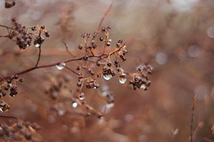 Rainy Day (tkott911) Tags: brown rain droplets drops warm bokeh raindrops drips bushes aperature