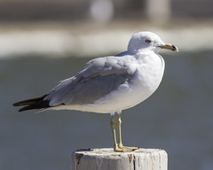 ring-billed gull (hawk person) Tags: larusdelawarensis birdathon2013