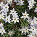 Spring star / Ipheion uniflorum / 花韮(ハナニラ)
