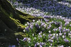 here comes the sun... (Triniciusverus) Tags: flowers tree nikon flickr purple treetrunk nikkor husum d90 18105mm schlossparkhusum crocusblossomhusum krokusbltehusum palacegardenshusum