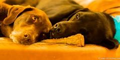 An Adoring Sister (KB RRR) Tags: r chocolatelabrador shyla blacklabrador