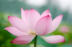 Lotus (asusmt) Tags: lotus waterlily flower petal pink red summer blossom blooming water