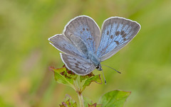 JWL2808  Large Blue.. (jefflack Wildlife&Nature) Tags: largeblue butterflies butterfly lepidoptera insects insect wildlife glades moorland heathland countryside fields grasslands meadows nature