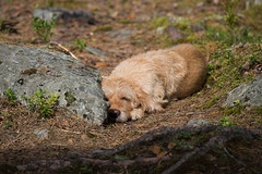 Daydreaming (@Tuomo) Tags: finland summer päijänne jämsä dog sleep nikon df 300mm4 pf bassetfauvedebretagne