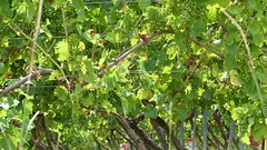 Weinreben bei Gau-Odernheim