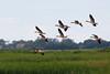 Greylag goose (Anser anser) (LauriusV) Tags: netherlands nl noordholland oudeschild familyanatidae orderanseriformes genusanser englishgreylaggoose speciesanseranser lithuanianpilkojižąsis
