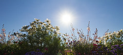 Here comes the sun (FocusPocus Photography) Tags: blumen flowers sommer summer flora park himmel sky sonne sun cosmos