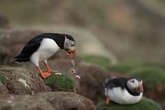 _MG_7288.jpg (helmutfaugel) Tags: schottland fairisle grosbritannien europa vogel 2016 shetland papageientaucher orte