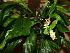 Pholidota chinensis var. long pseudobulb species orchid 7-16 (nolehace) Tags: pholidota chinensis var long pseudobulb species orchid 716 summer nolehace sanfrancisco fz1000 flower plant bloom